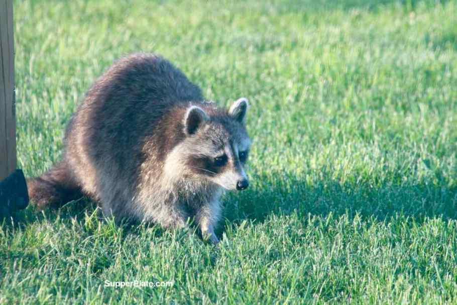 Raccoon looking intently straight ahead