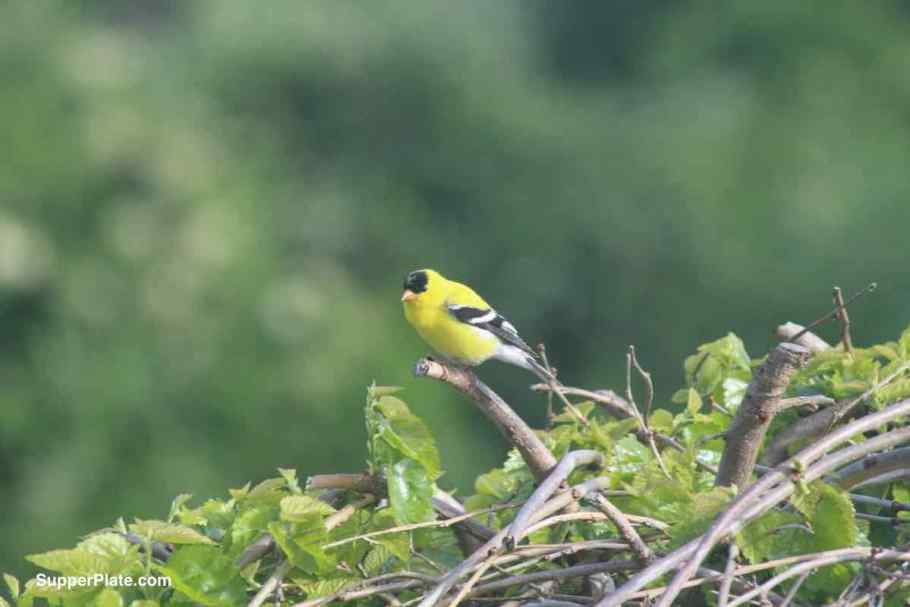 close up of Yellow Finch on a tree