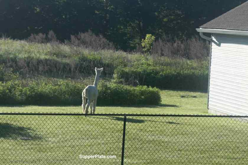 Alpaca staring at the long grass