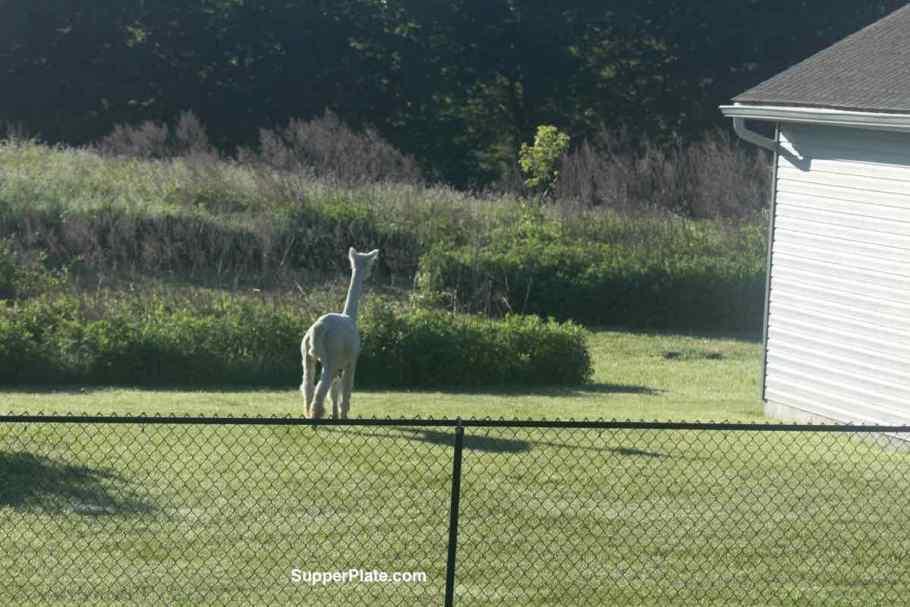 Alpaca staring at the long grass