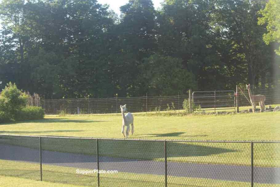 Alpaca walking across grass