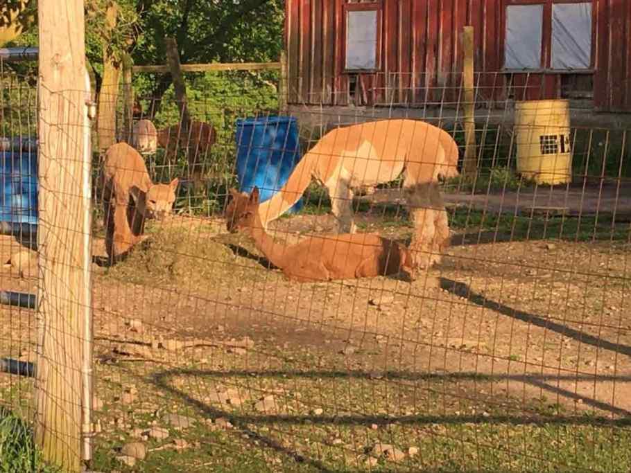 Alpacas in the yard