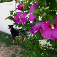 Wordless Wednesday: Dixie and Rose of Sharon Bush