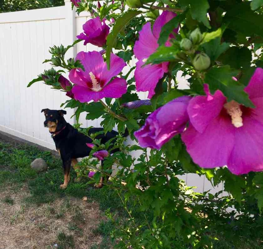 Dog next to Rose of Sharon bush