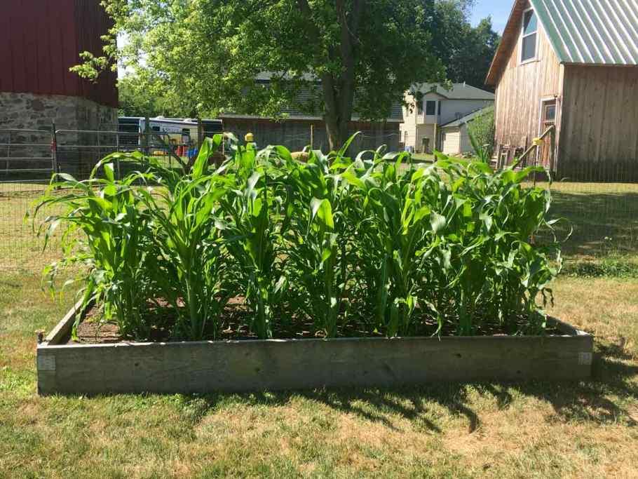 Corn in a raised garden
