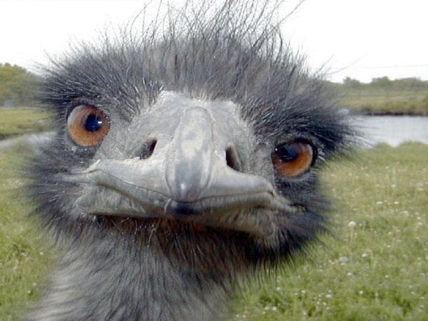 Emu-Oil