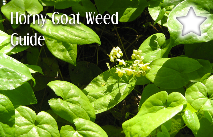 Does horny goat weed actually work