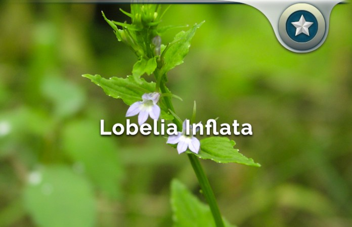 Lobelia Inflata Review Healthy Indian Tobacco Benefits Or Side
