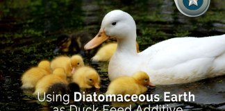 Using-Diatomaceous-Earth-a-Duck-Feed-Additive