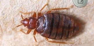 atlantis resort bed bugs attack
