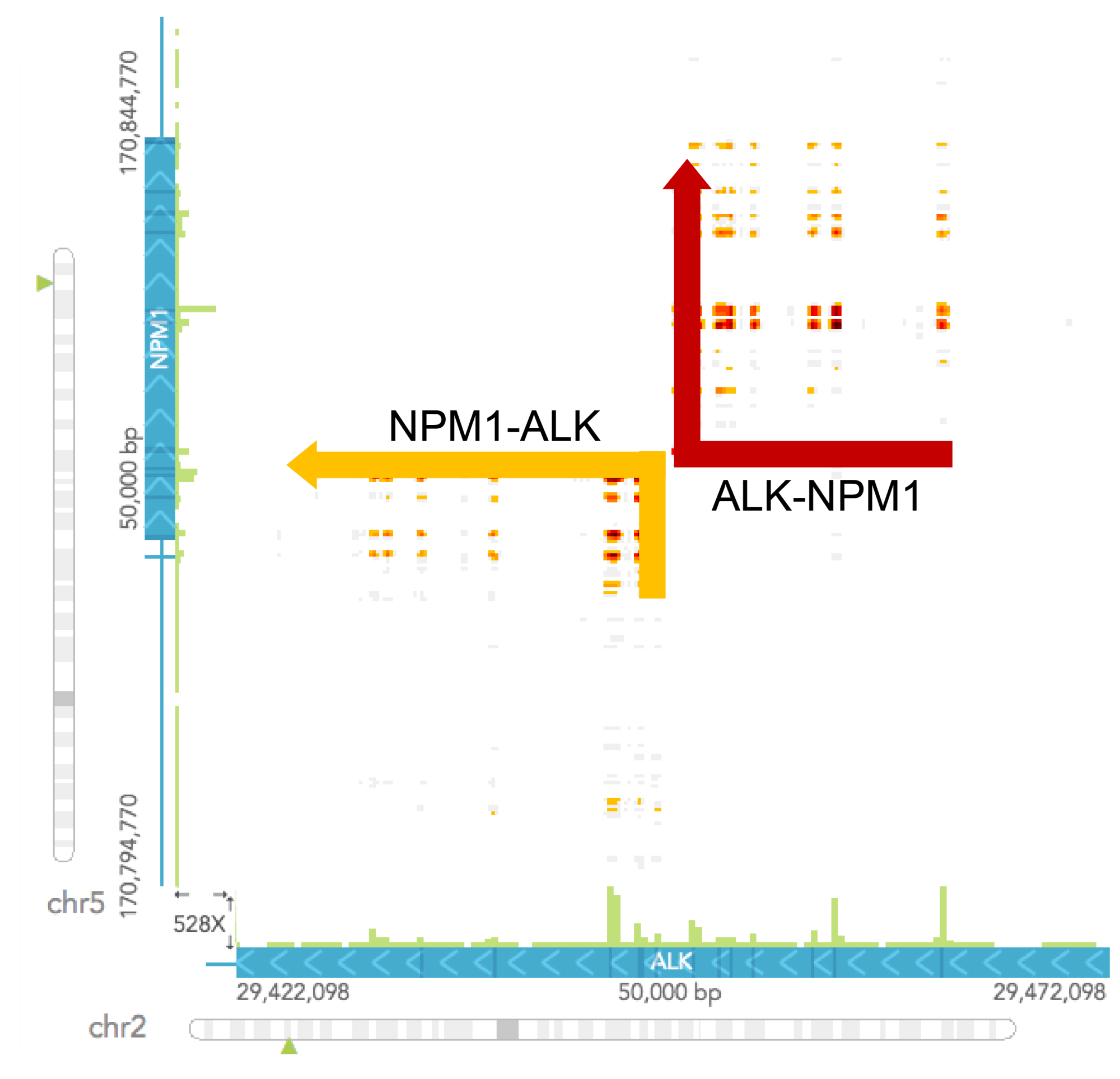 hight resolution of to determine the chromosomal rearrangement it is easiest to draw out a schematic of the wild type gene organization based on the haplotypes view and the