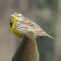 Birdwatch: Spring brings Western Meadowlarks and a Mountain Bluebird to Pemberton