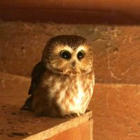Birdwatch with John Tschopp - the Northern Saw-whet Owl who's bunking in with the hens
