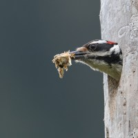 Hairy Woodpecker cleans out a nest