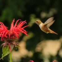 Sighted: Rufous Hummingbirds drawn by the lure of beebalm