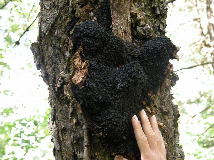 cogumelos medicinais Chaga (Inonotus obliquus)