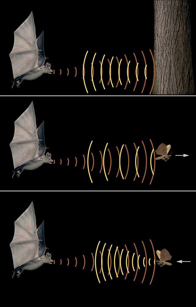 Ecolocalização para seguir utilizado pelos morcegos