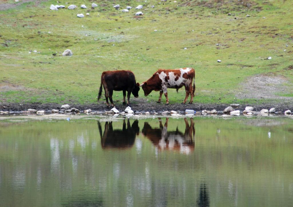 Espejo de vacas