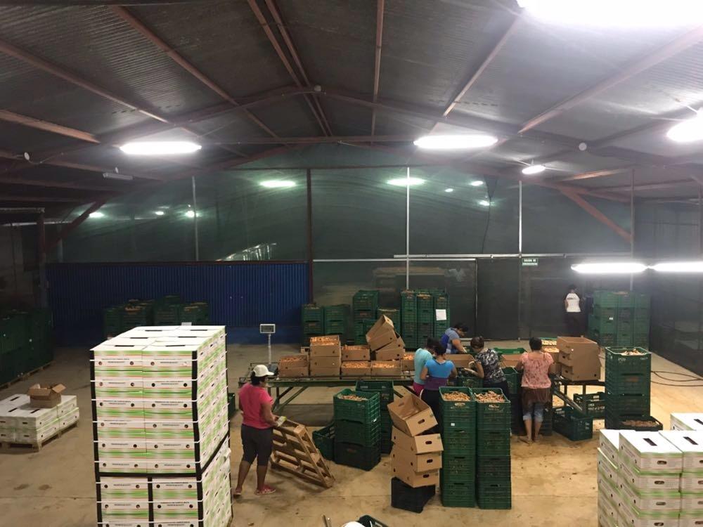 UCR Productores de la zona norte exportan curcuma y jengibre organico a Europa2