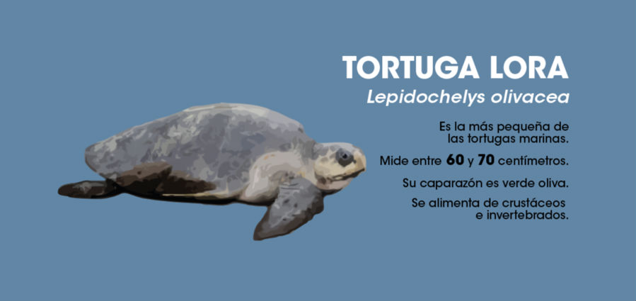 La tortuga lora es la más pequeña de las tortugas marinas que arriban a nuestras playas. Imagen: Rafael Espinoza.