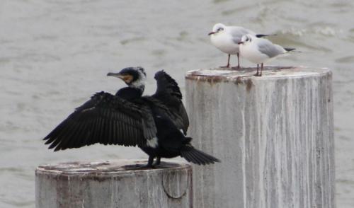 2 cormoran paris rec 31 janv 2015 204 (2).jpg
