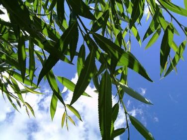 pil willow