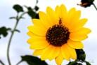 Copyright © Sherley J. Edinbarough (Surely, Sherley and/or SurelySherley), 2015. A beetle resting on a sunflower during sunset.