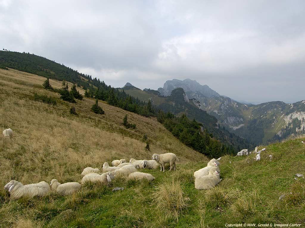 Sheep Pasture On Brauneck