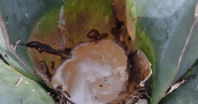 Crean científicos mexicanos bebida de agave con probióticos para mejorar la salud intestinal