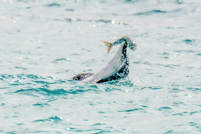 South West Marine life images by Ian Wiese – Series #1 Dolphins