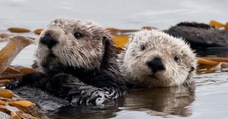 Otter twosome