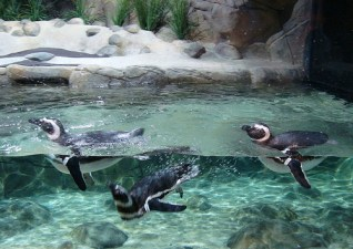 penguins swimming