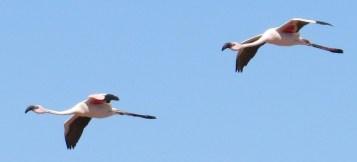 Flamingo_flying