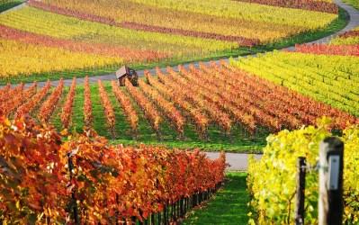 vineyard orange and yellow-