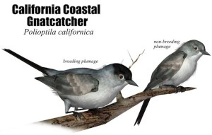 CACoastalGnatcatcherx