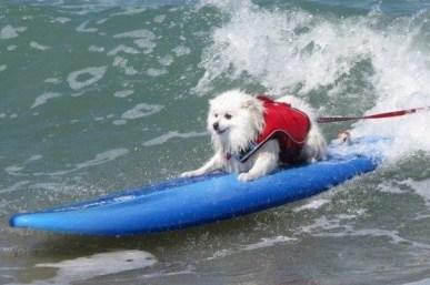 white dog on blue board