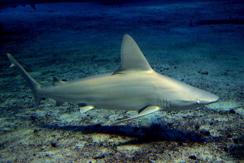 メジロサメ