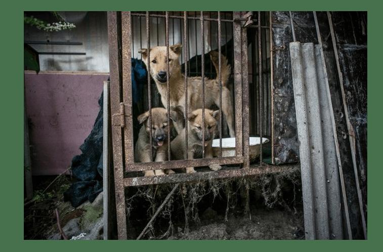 150 cães são salvos de serem cozinhados na Coreia do Sul