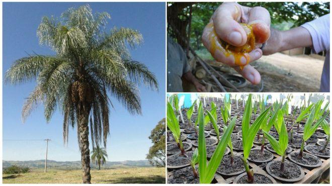 A palmeira que desponta como novo 'ouro verde' do Brasil