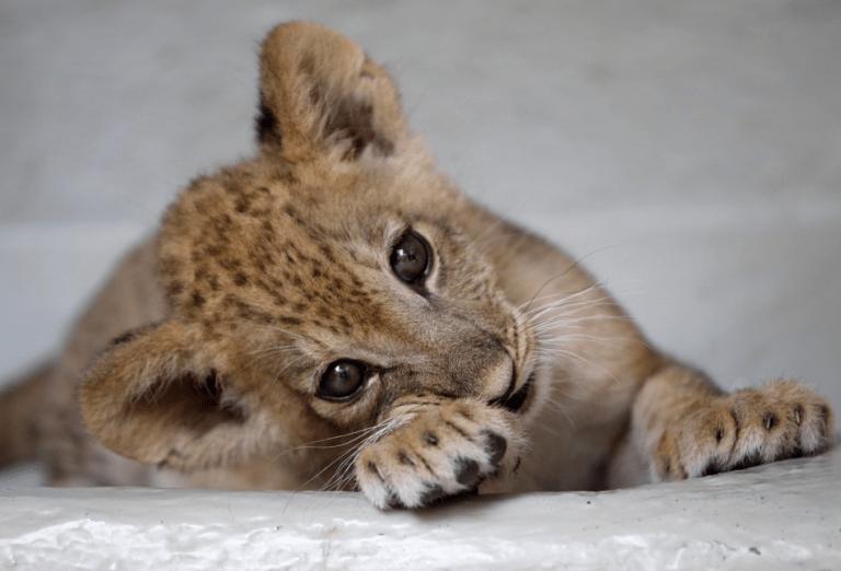 Zoológico mata nove filhotes de leão para diminuir gastos