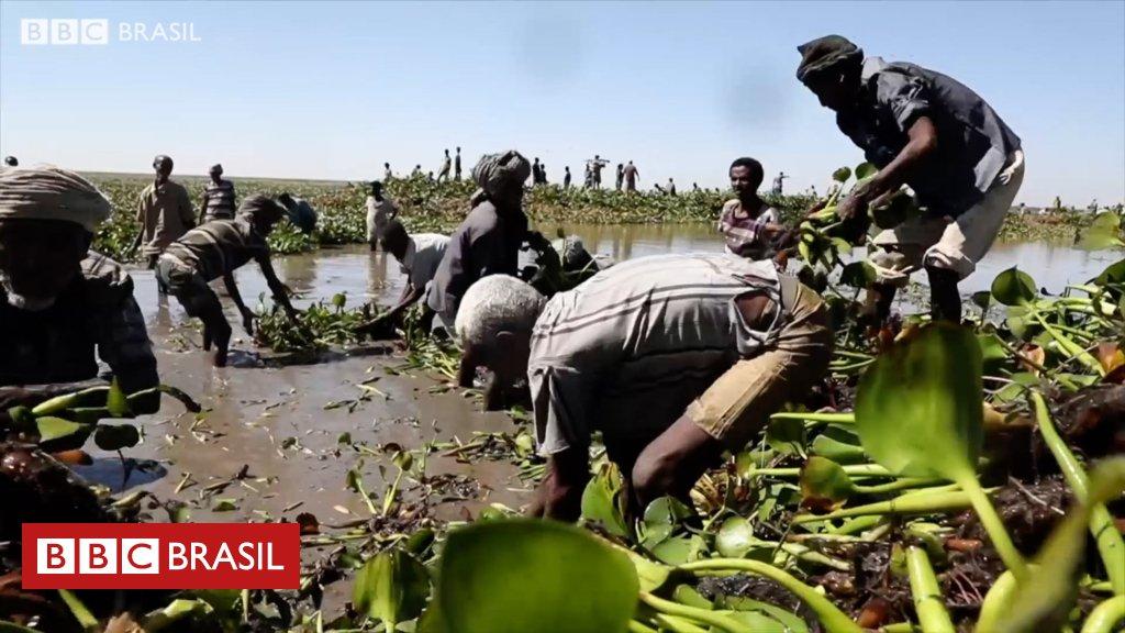 Etiópia luta para salvar maior lago do país de espécie invasora originária do Brasil
