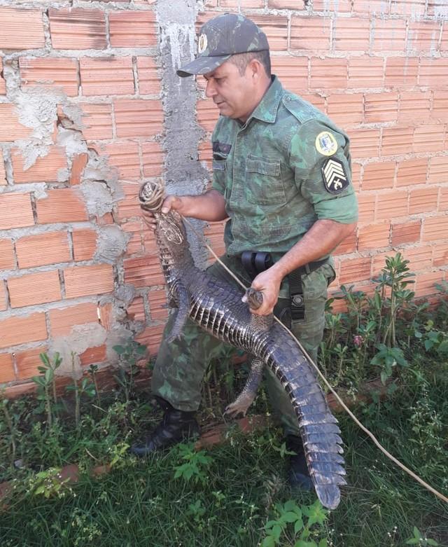 Jacaré de um metro é capturado em avenida no centro de Miracema