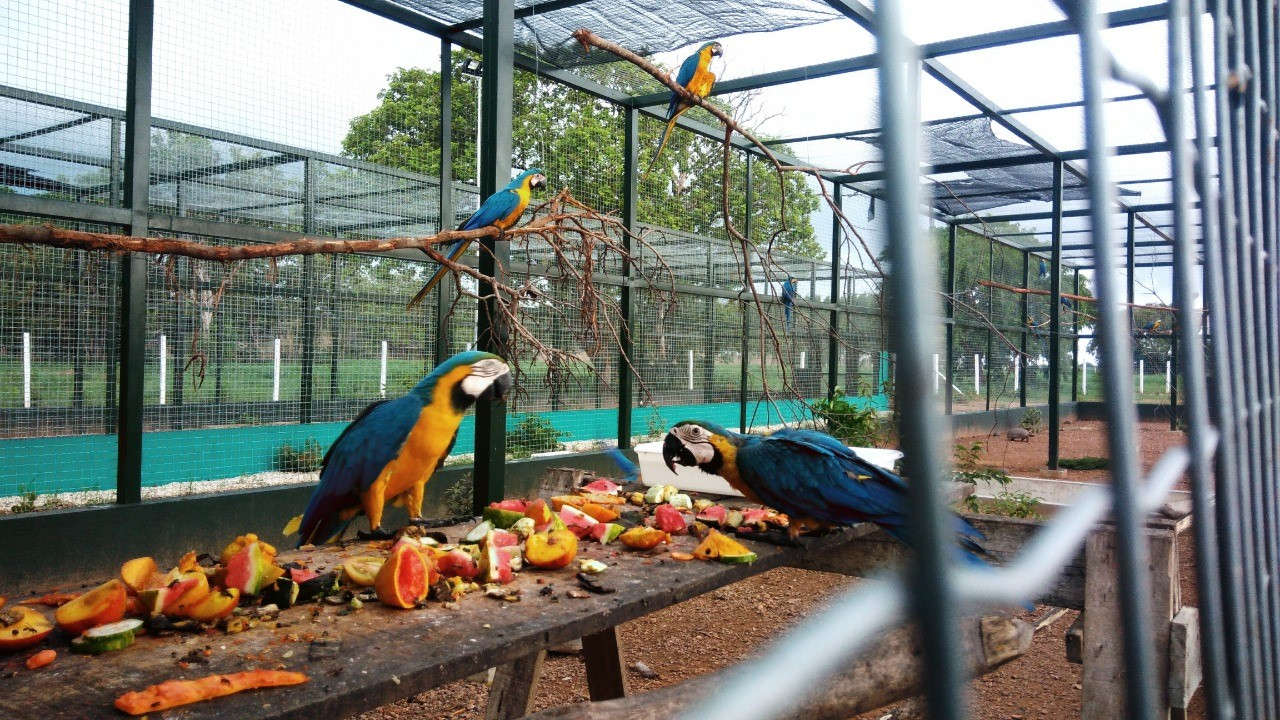 Araras sobrevivem na mira do tráfico de animais silvestres