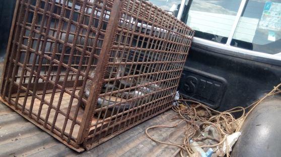 Batalhão Ambiental da PM captura cobra sucuri de 4 metros em Axixá e faz alerta à população