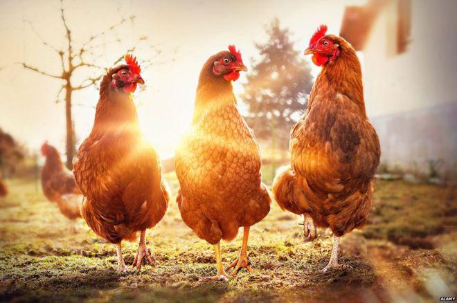 Frigorífico que produz carne de frango sem matar uma ave