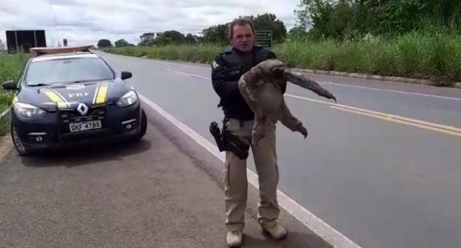 PRF recolhe animal na BR-153 e evita atropelamento em Araguaína
