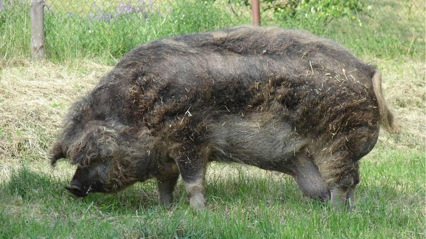Fazendeiro passa mal e é devorado por seus porcos na Polônia