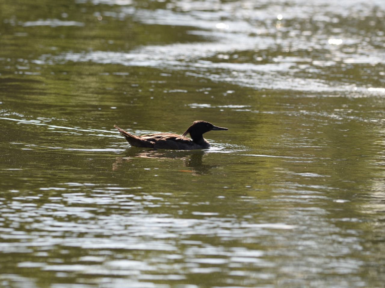 Tocantins inicia monitoramento do período reprodutivo 2020 do Pato mergulhão no Jalapão