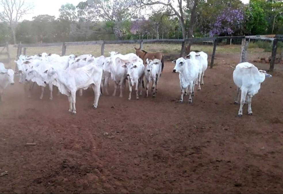 Polícia Militar encontra gado furtado em Luzimangues e prende suspeito de receptação