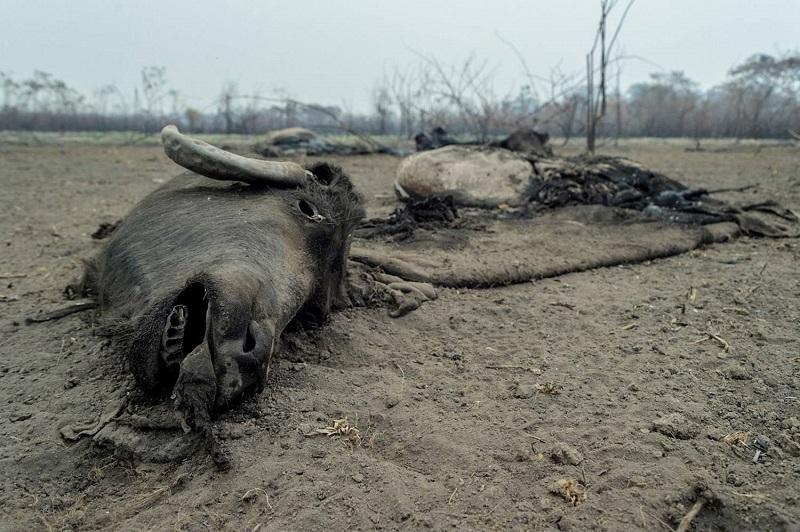 Fogo deixa rastro de destruição e animais mortos no Pantanal